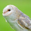 Pointer Owl  by Daniel  Parent