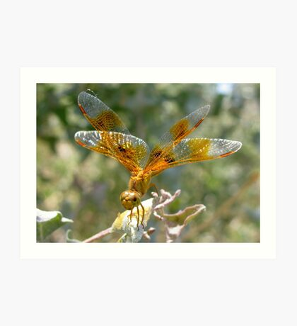 Dragonfly ~ Mexican Amberwing (Female) Art Print