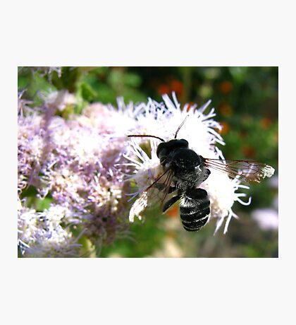 Leafcutter Bee (Megachile) Photographic Print