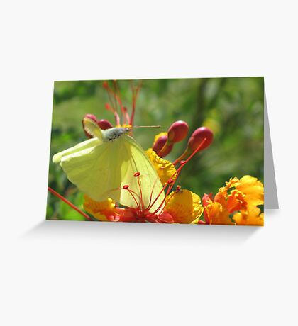 Butterfly ~ Cloudless Sulfur (Wings Down) Greeting Card