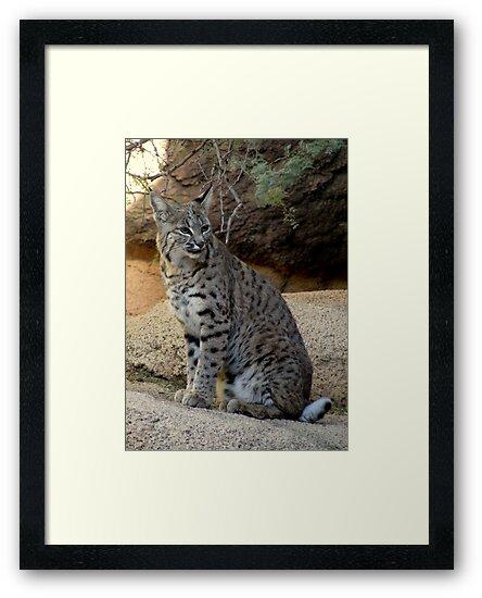 Bobcat by Kimberly Chadwick