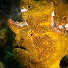 Yellow frog fish - Lembeh Straits  by Stephen Colquitt