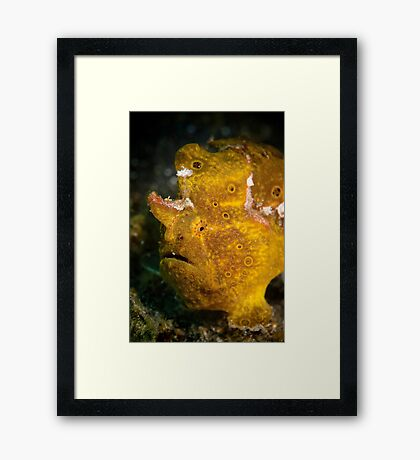 Yellow frog fish - Lembeh Straits  Framed Print