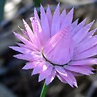 Pink Frills - Taken in Kings Park, Perth, Western Australia by Karen Stackpole