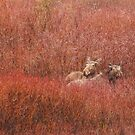 Two Moose in Red by Alyce Taylor