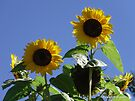 Sunflowers Delight by Barberelli