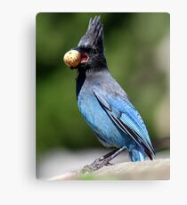 Stellar's Jay With a Beak-full Canvas Print