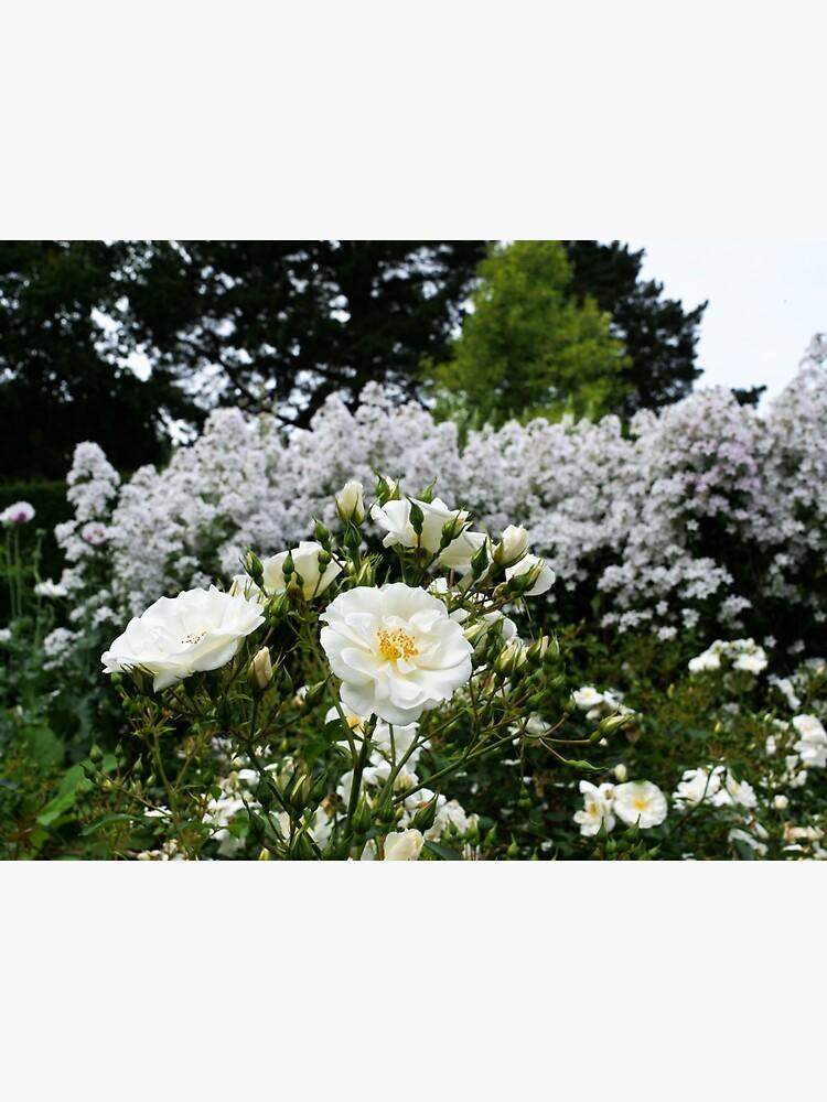 Beautiful evergreen rose by santoshputhran