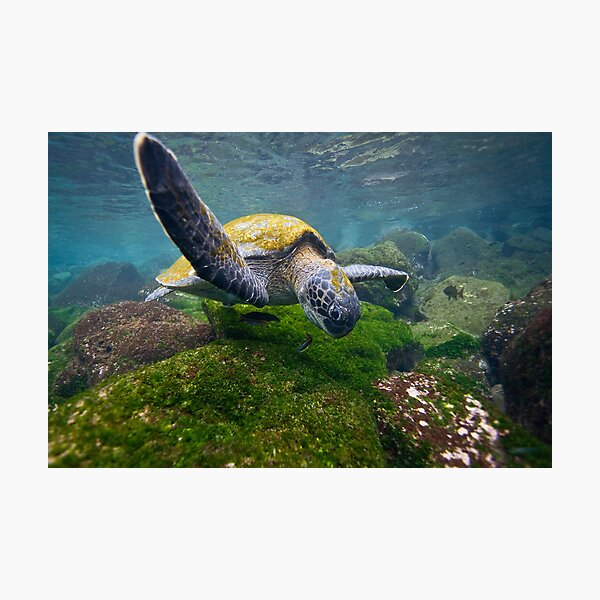 Green Sea Turtle feeding Photographic Print
