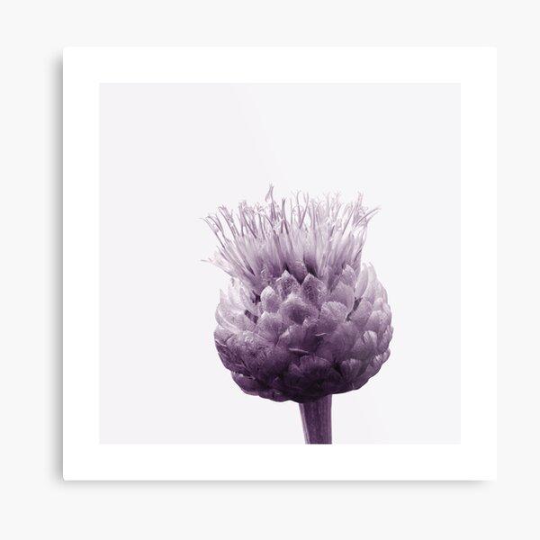 Monochrome - Centaurea Metal Print