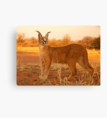 Caracal 4 Canvas Print