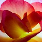 Begonia Petals   Macro by Jim Key
