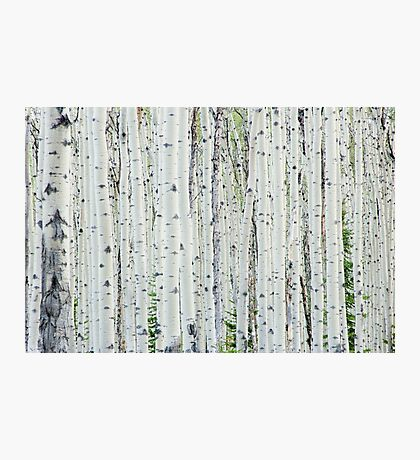 White Birch Tree Forest Photographic Print