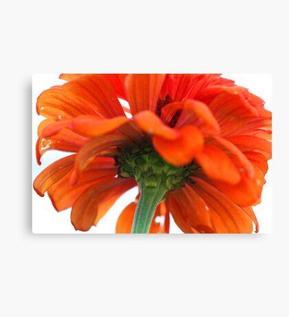 Beautiful Orange Zinnia Canvas Print