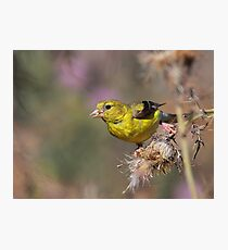 American Goldfinch on Thistle Photographic Print