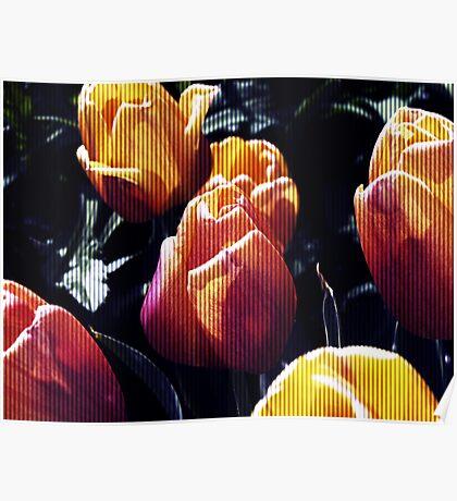 tulips wild Poster