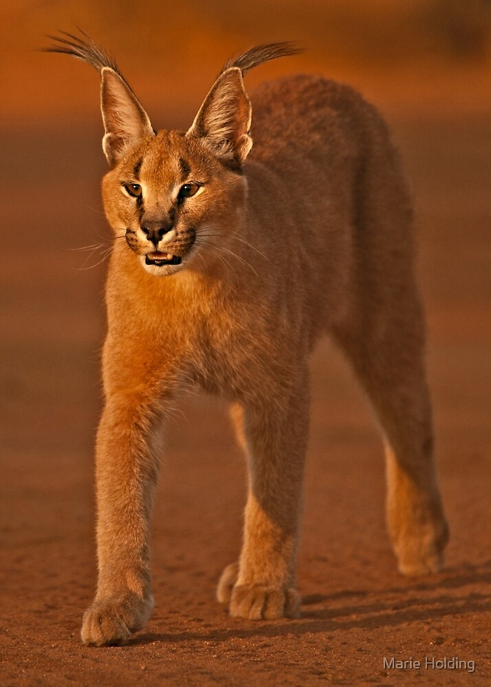 Caracal 1 by Marie Holding