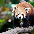 Red Panda by Marie Holding