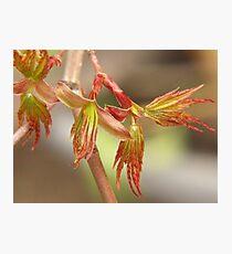 Japanese maple, budding leaves... Photographic Print