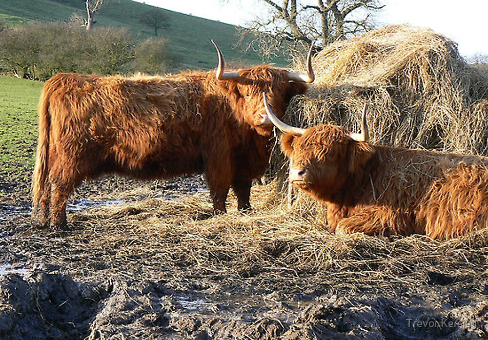 Highland Cattle by Trevor Kersley
