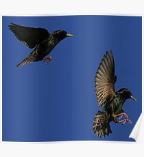 Flight Of The Starling Poster