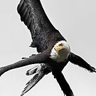 Bald Eagle 3. by Alex Preiss