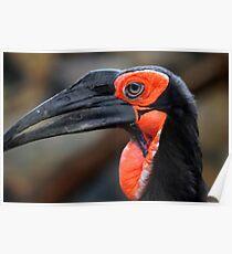 African Ground Hornbill Poster