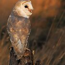 Barn Owl at Sunset by barnowlcentre