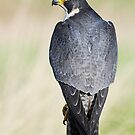 Peregrine Falcon by barnowlcentre