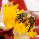 SWISS BEE by mc27