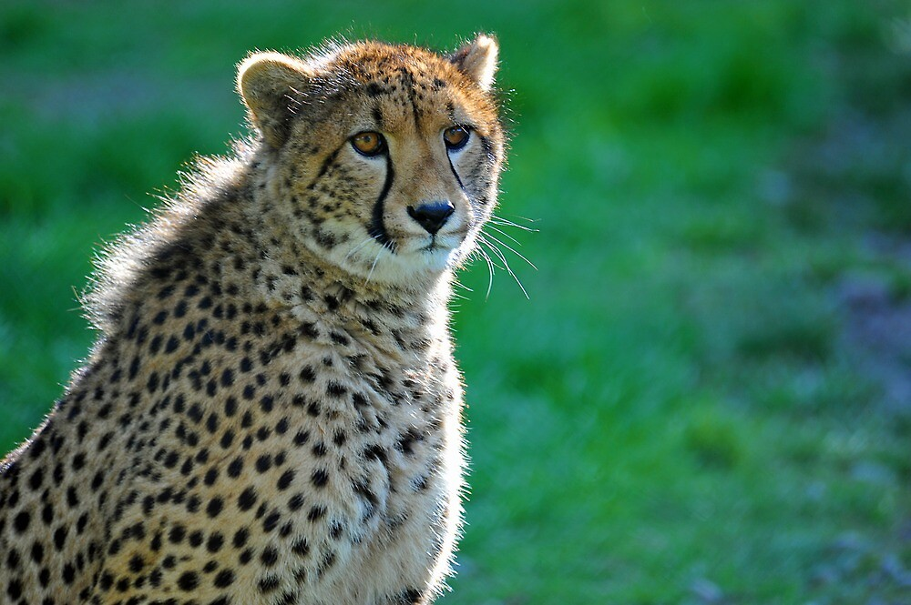 A Cheetah At Orana Wildlife Reserve, Christchurch. South Island, New Zealand. by Ralph de Zilva