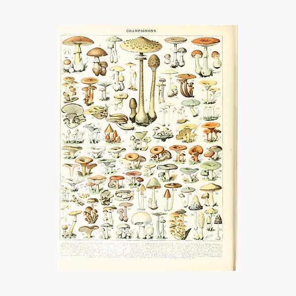 Adolphe Millot champignon B Photographic Print