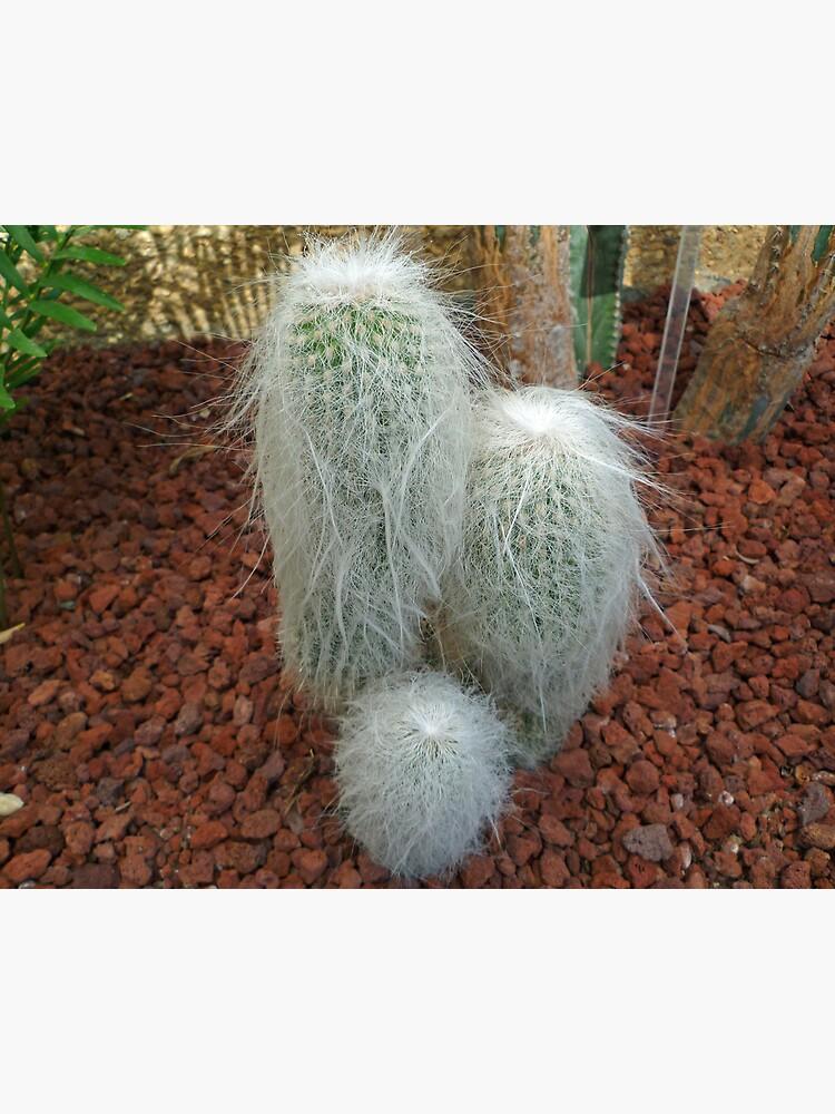Old Man Cactus by TonyCrehan