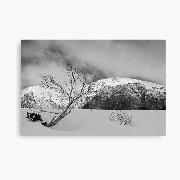 Resilient snow gum Canvas Print