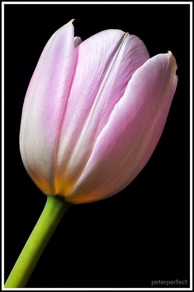 Tulip  by peterperfect