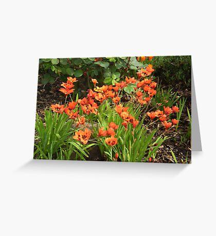 Orange corner- Ixias in full bloom - spring 2010 Greeting Card
