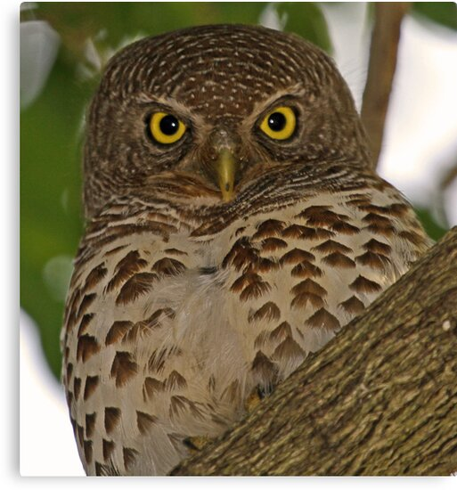 Barred owl by Anthony Goldman
