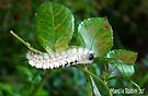 Hickory Tussock Moth (Lophocampa caryae) by Marcia Rubin