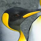 From my last visit to Antarctica. Taken on Macquarie Island Feb 14 2013 by Karen Stackpole