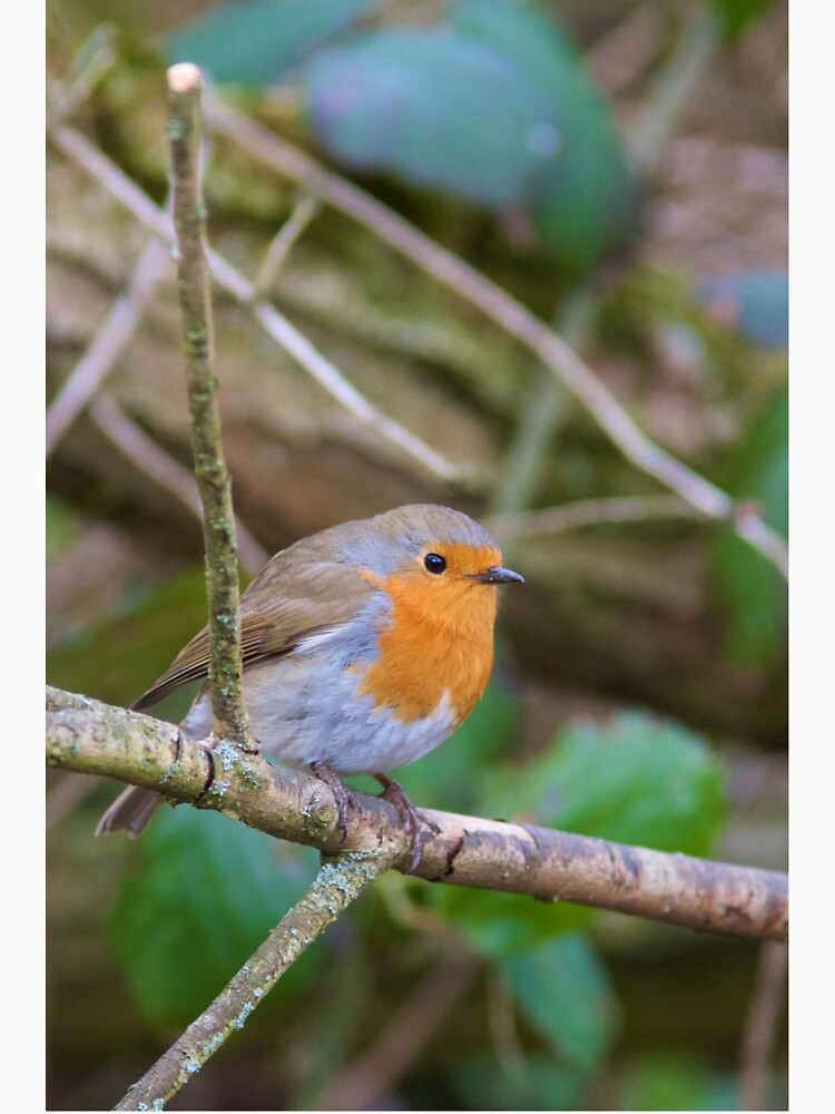 Robin (Erithacus Rubecula) Perched in Woodland by robcole