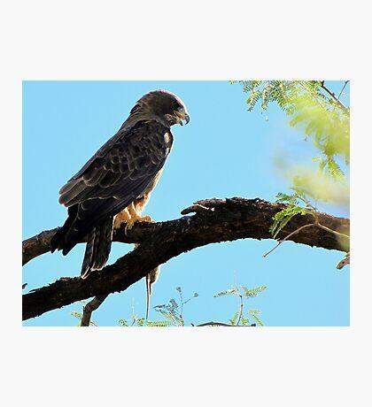 Swainson's Hawk Photographic Print