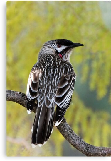 Young Adult Red Wattlebird by Sandra Chung