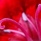 Inside a Red Carnation by esmeb Barnard