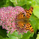 Comma butterfly, Polygonia c-album by Tony4562