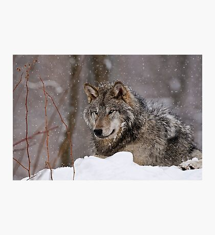 Timberwolf in Winter Photographic Print