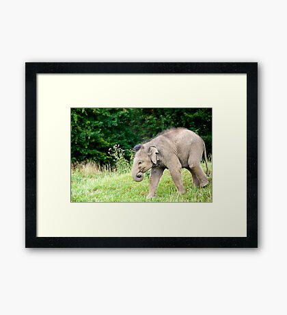 1 year old Asia Elephant  Framed Print
