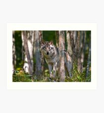 Timber wolf in Forest Art Print