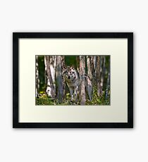 Timber wolf in Forest Framed Print