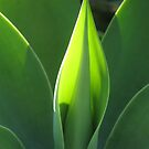 ..from the garden of glowing Agave.. by ronholiday