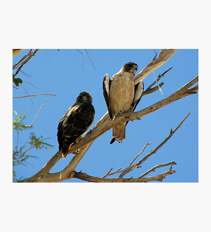 Red-tailed Hawks ~ Paired Photographic Print